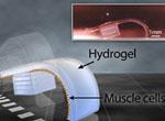 3D çap və əzələ hüceyrələrinin köməyi ilə yaradılan ikinci nəsil biorobotlar təqdim olunub